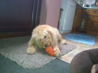 <h2>Molly enjoying her frozen kong on a hot day